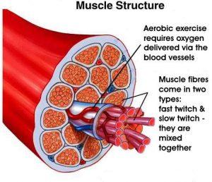 Cross-section of human muscle fibers