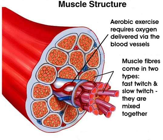 Cross-section of human muscle fibers