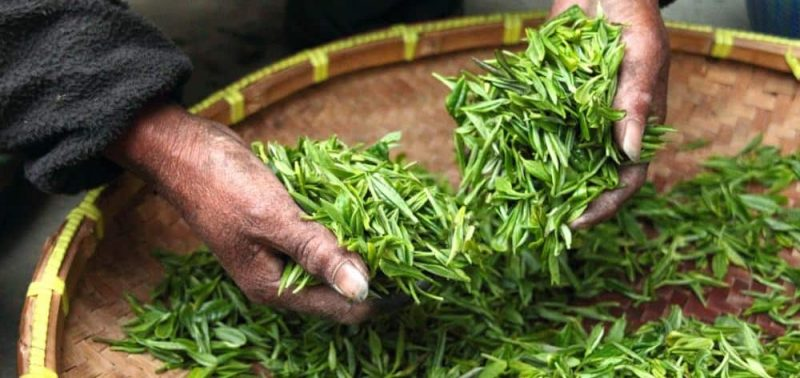Leaves for Green Tea's Brain Benefits