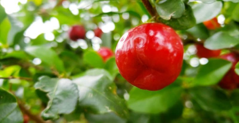 Fresh Acerola for best benefits