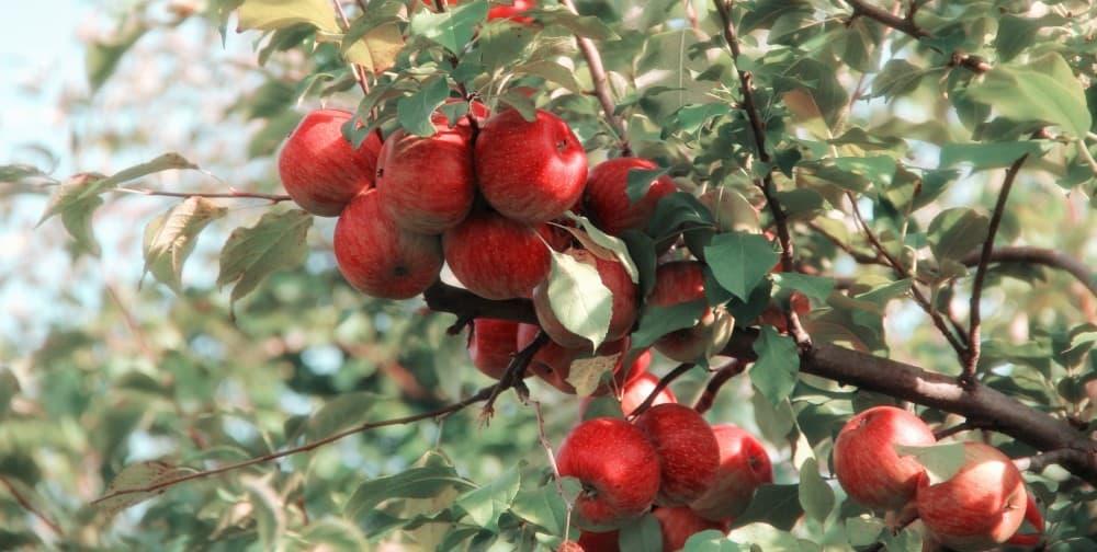 Fresh apples for Benefits of Apple Cider Vinegar