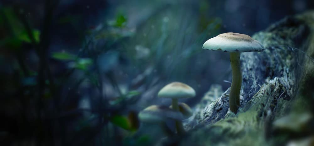 Reishi for Benefits of Medical Mushrooms