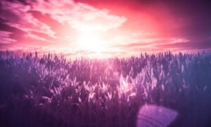 purple grass and sunrise