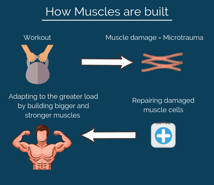 Muscle building process described